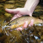 brown trout in a small stream