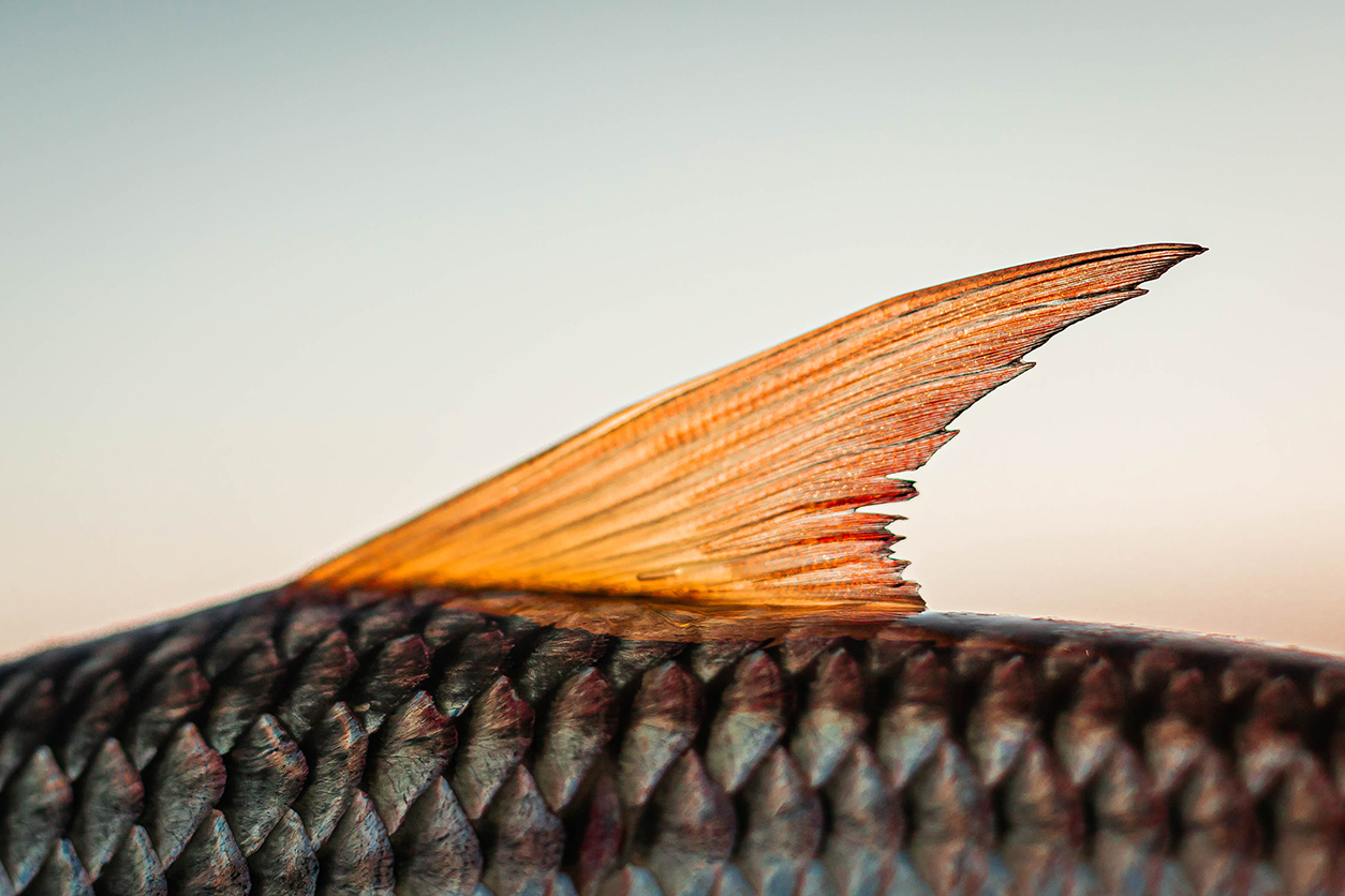 Close up of a tigerfish fin at Jozini Dam, South Africa
