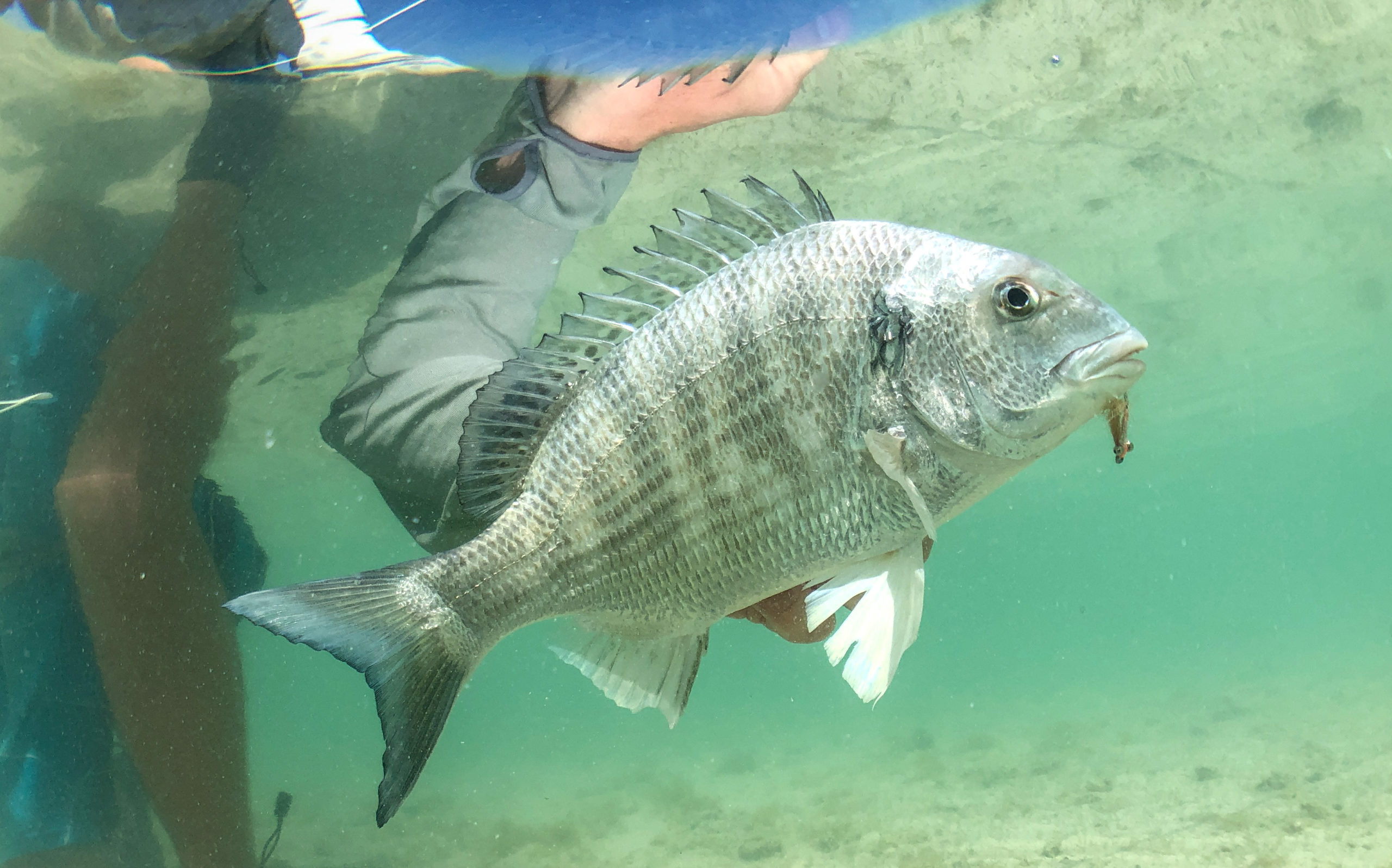 Black Head Sea Bream