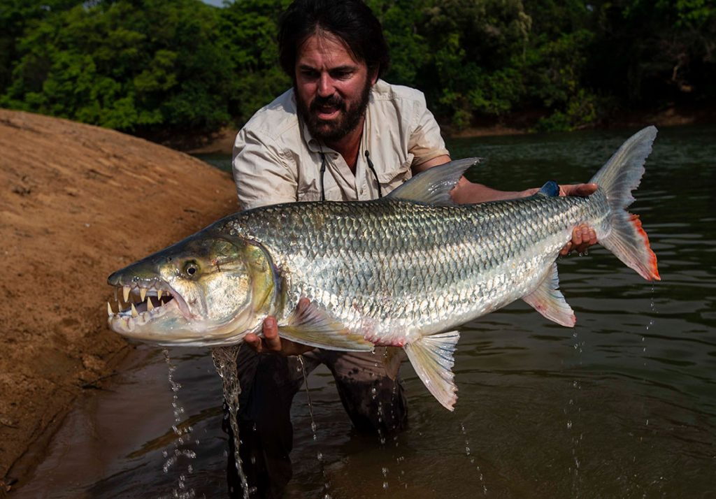 Goliath tigerfish from Chinko, Central African Republic