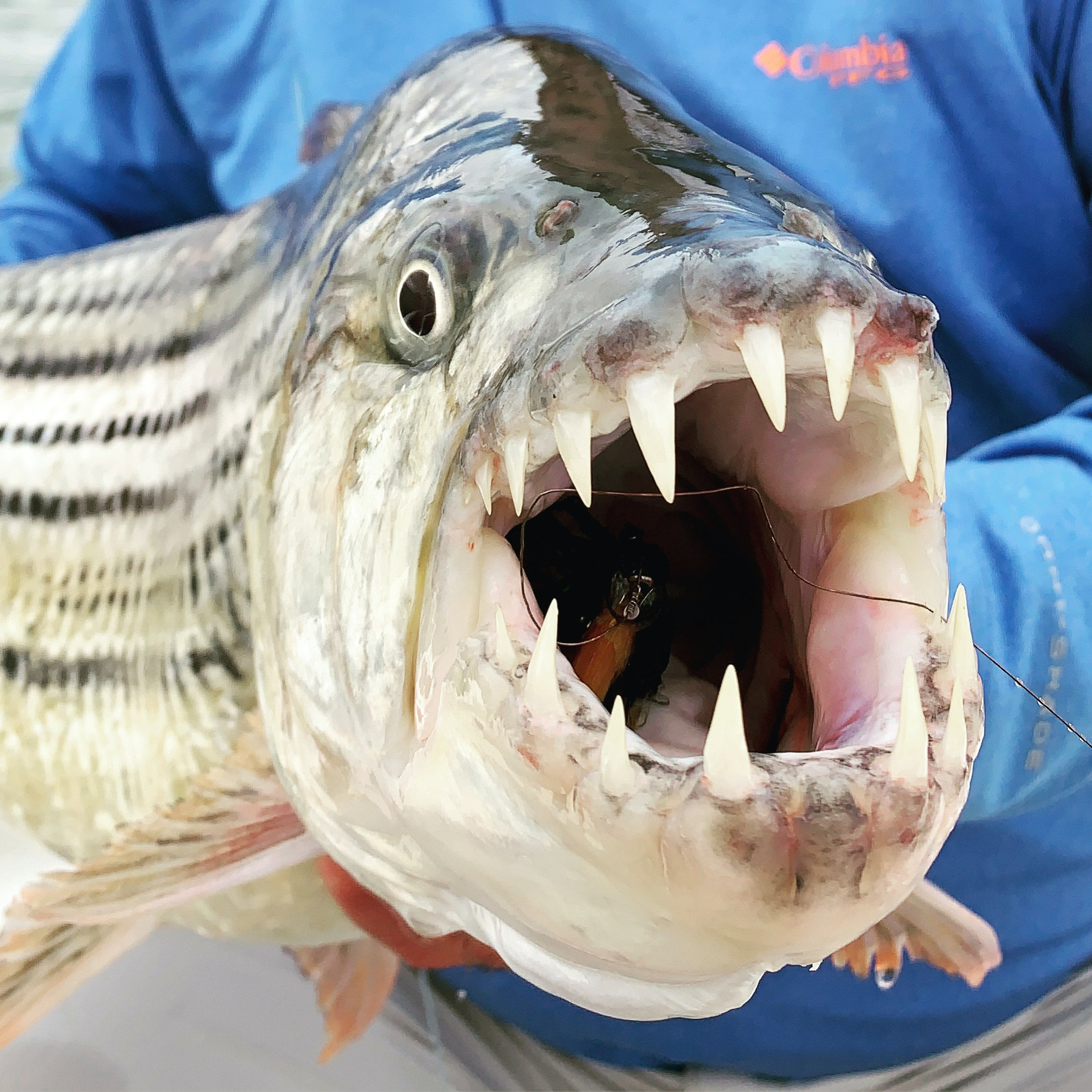 A chunky tigerfish from Lake Jozini