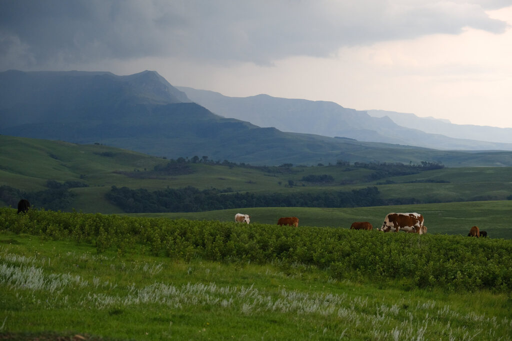 The approach to the Drakensberg involves fields, hills, cows and clouds
