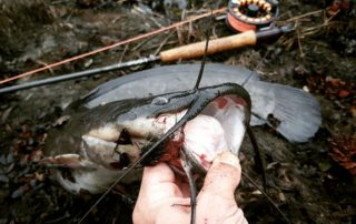 Sharptooth catfish fly fishing LeRoy Botha